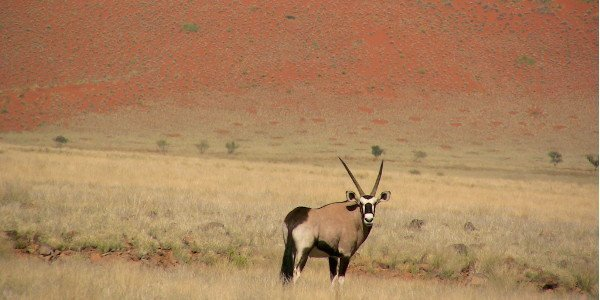 Oryx-Antilope in der Namib-Wüste in Namibia