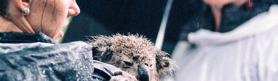 Volunteer trägt Koala