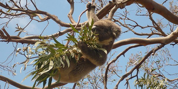 Australien Wildlife: Koala im Eukalyptusbaum
