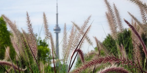 Gräser im Vordergrund, der CN Tower im Hintergrund