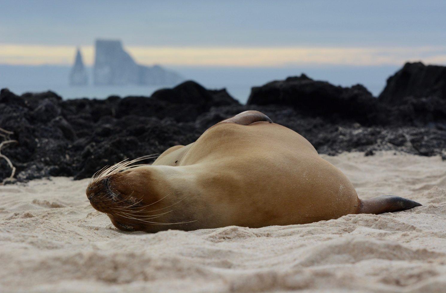 Robbe auf den Galapgos-Inseln