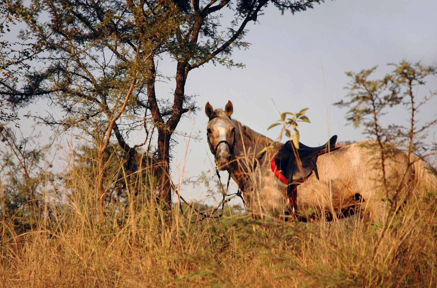 Reit-Pferd in Südafrika