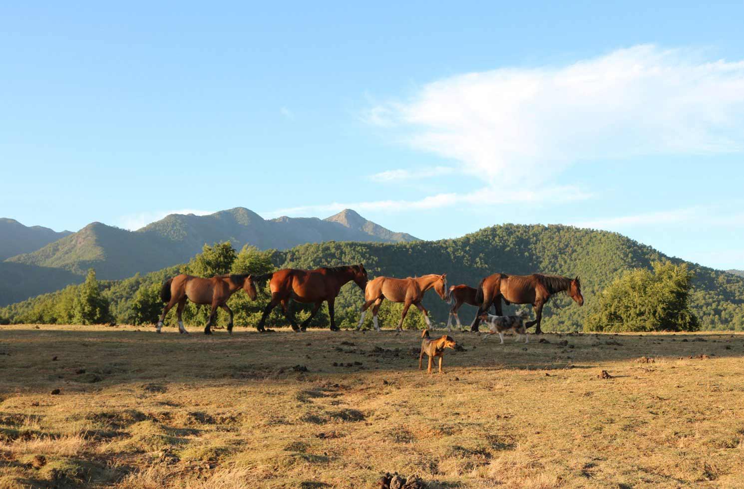 Pferde in Chile