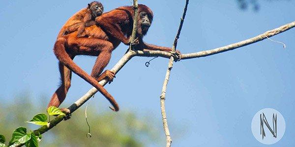 Praktikum in Peru: Forschungsprojekt mit Affen