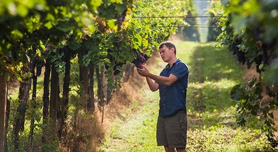 Praktikum in den USA: Weinbau (Landwirtschaft)