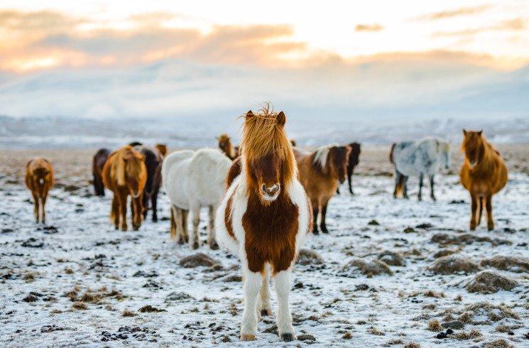 Farm- und Rancharbeit in Island
