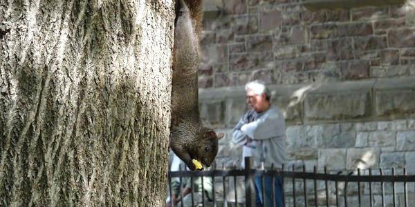 Ein Eichhörnchen klettert in einem Park Torontos einen Baumstamm herunter