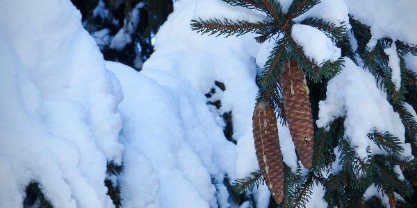 Eingefrorene Tannenzapfen an einer eingeschneiten Tanne