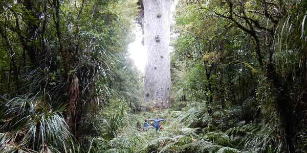 Der größte und älteste Baum Neuseelands im Waipoua Forest im Norden an der Westküste