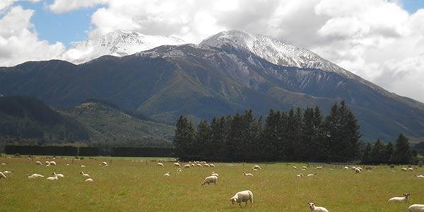Grasende Schafe auf einer Weide, im Hintergrund ist ein Berg und ein Tannenwald zu sehen