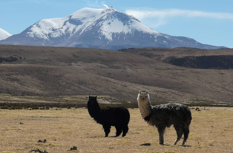 Alpacas in Chile