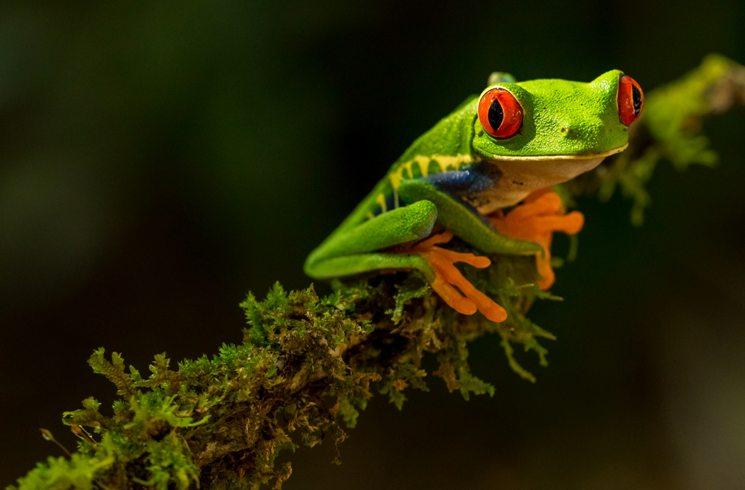 Frosch in Costa Rica