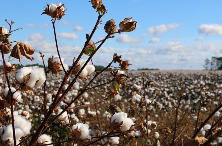 Anbau von Baumwolle
