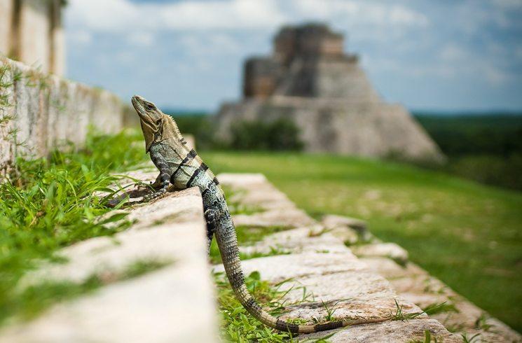 Eidechse in Yukatan, Mexiko