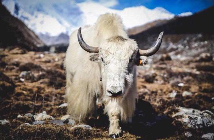 Himalaya Yak in Nepal