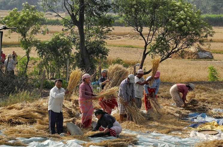 Landwirtschaft in Nepal: Ernte