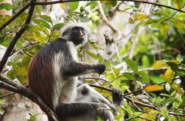 Affee auf Sansibar
