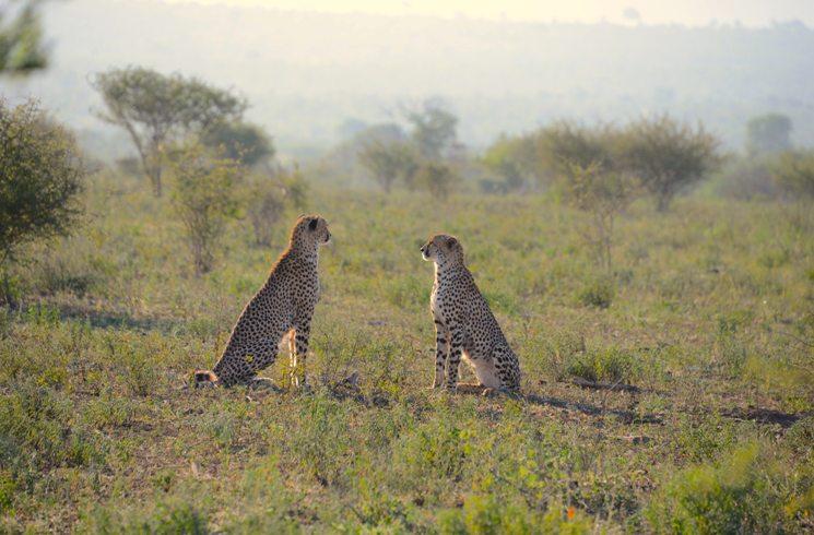 Geparden in Südafrika