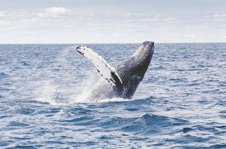 Buckelwal im Meer vor den USA