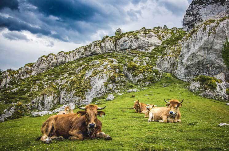 Rinder im Nationalpark Picos de Europa in Spanien