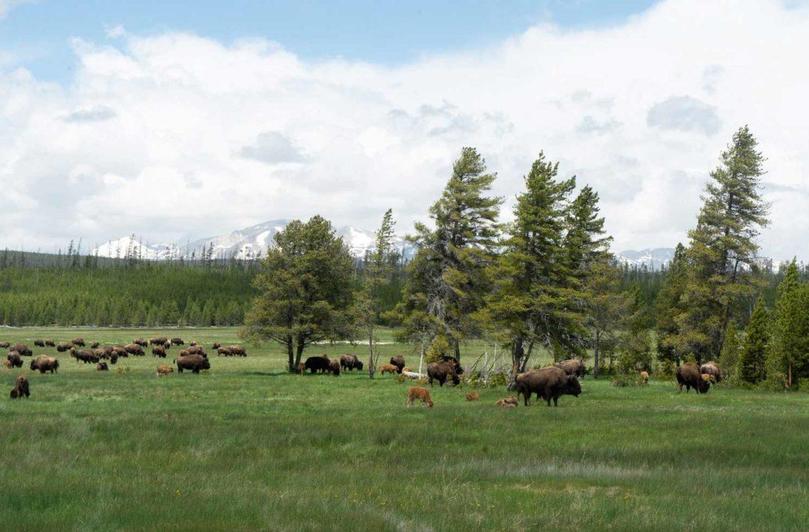 Tierbeobachtungen im Yellowstone Nationalpark