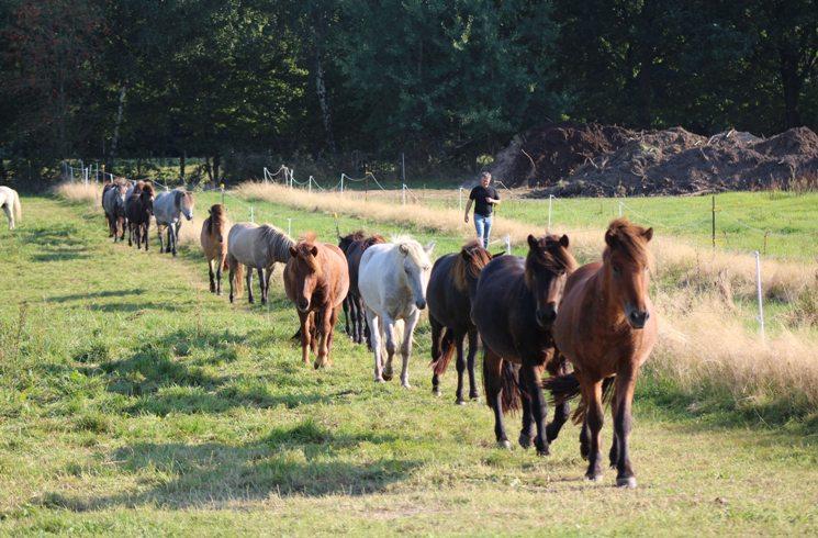 Pferde in Island unterwegs