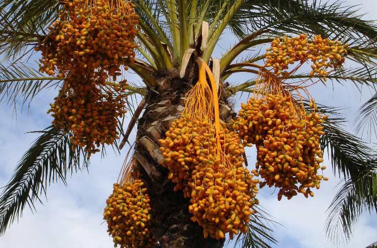 Dattel-Palme in Israel