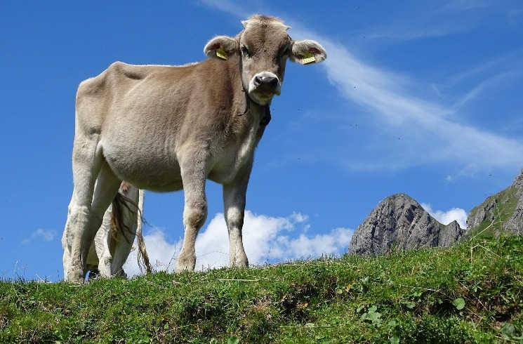 Kuh auf einer Alm in der Schweiz