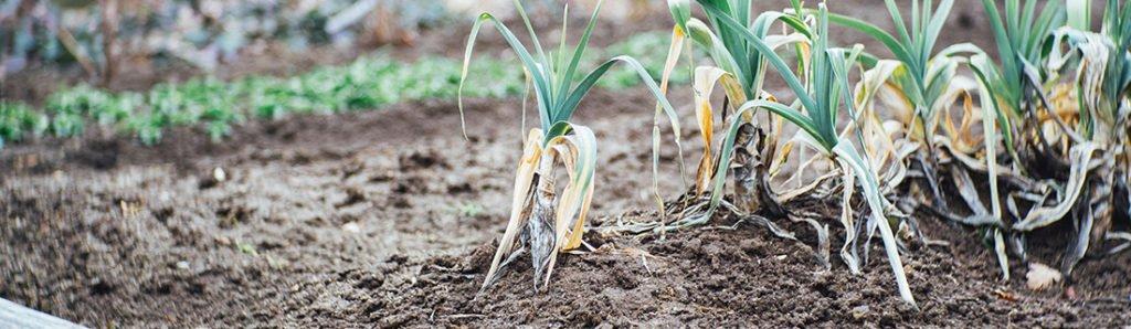 Gemüse-Anbau